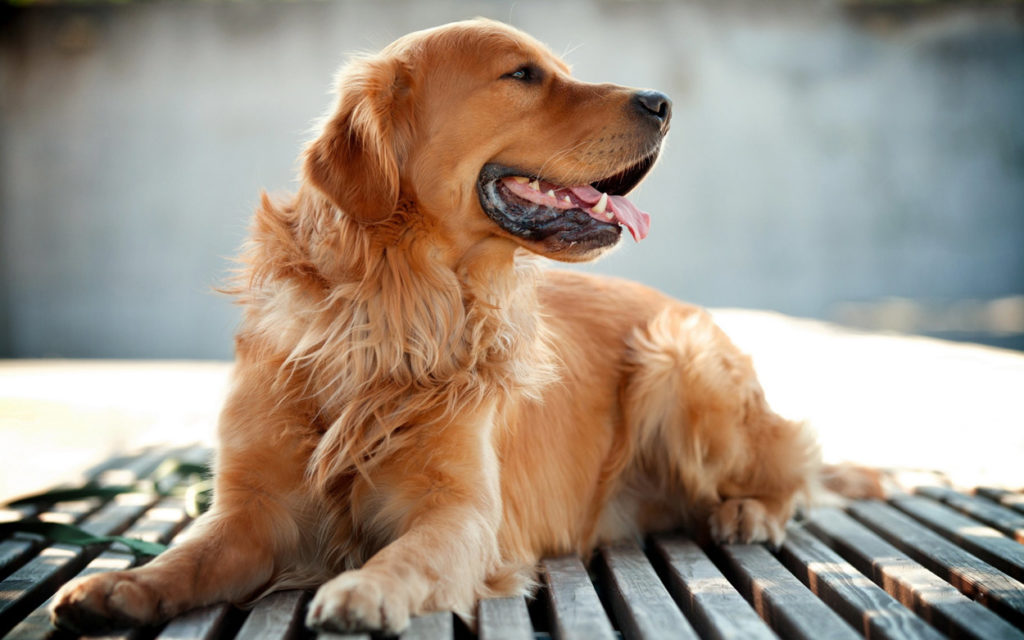 golden-golden-retriever-com