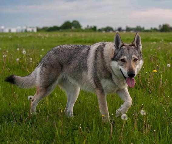 pandora_czechoslovakian_wolfdog_