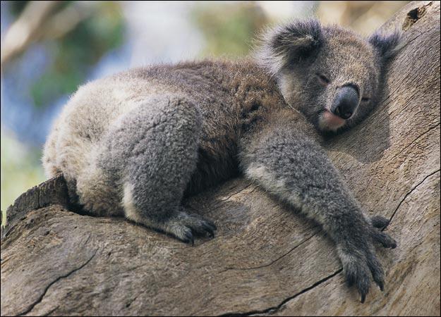 10.koala